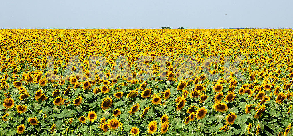 Sunflower field, summer,