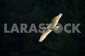 Птица с плоским клювом