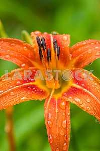 Капли дождя на лепестках цветка Лилия