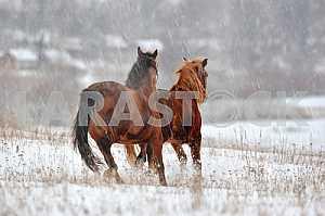 Лошади гнедые. Зима