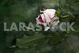 Лист и цветок бледно- розоввой розы с каплями дождя на зеленом фоне. Обработка. Живопись.