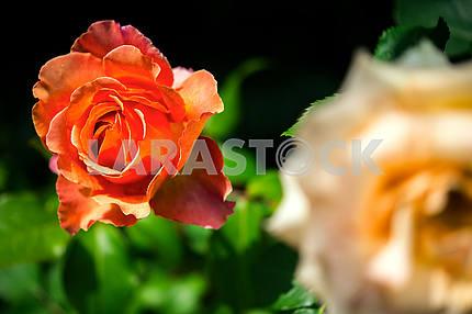 Оранжевый цветущий вырос в саду