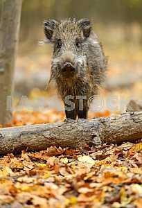 Дикая свинья
