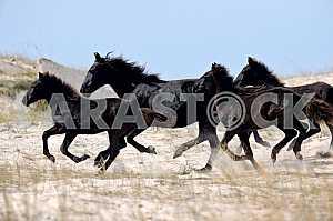 Табун вороных коней