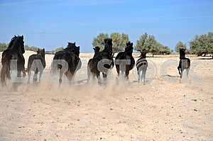 Табун вороных коней скачет