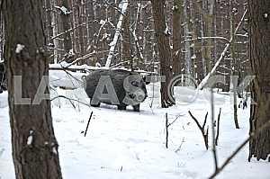 Дикий кабан в снегу