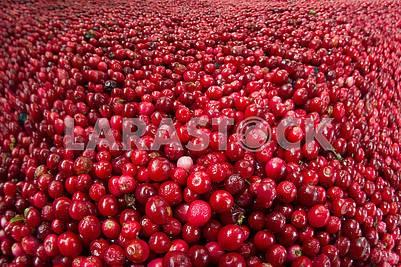 Много красной черники на зиму