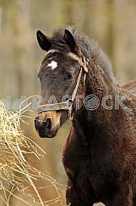 Гнедая лошадь с белой отметиной