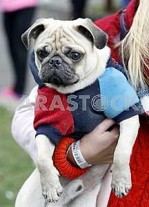 Собака одетая в костюм