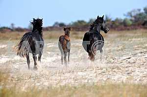 Вороные кони и жеребенок