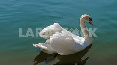 Красивый белый лебедь на воде