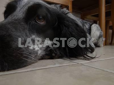 Собака русский спаниель лежит на полу.