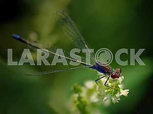 Синяя срекоза стрелка с красными глазами на белом цветке. Зеленый фон.