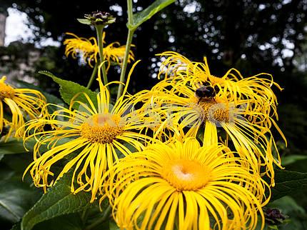 Пчела на цветах