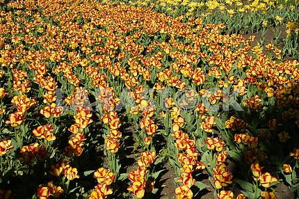 Ряды  тюльпанов,  желто - красных, на клумбе