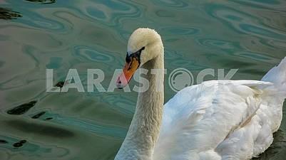Красивый белый лебедь на воде крупным планом