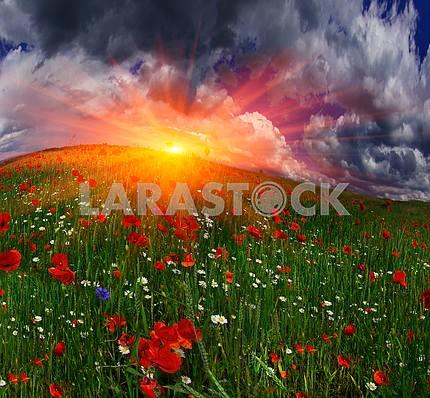 Поле с маками ярких цветущих