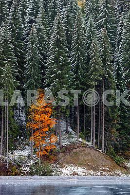 Первый осенний снег в еловом лесу