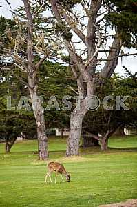 Косуля щиплет траву на фоне высоких стволов кипариса