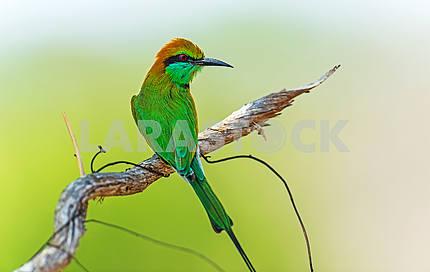 Би-людоед в дикой природе на острове Шри-Ланка