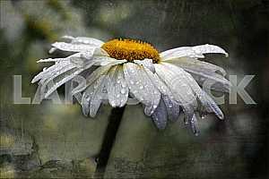 Ромашка в каплях дождя. Обработка.