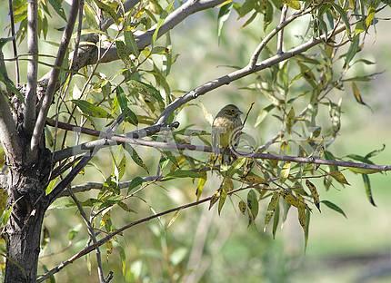 Маленькая желтая птичка на дереве ивы.