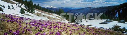 Цветы крокуса в горах