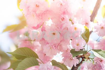 Цветущая сакура. Натуральный весенний фон