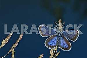 На траве с каплями росы бабочка голубянка. На усиках капельки. На синем фоне.