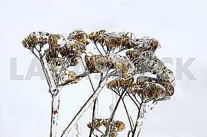 Сухая трава , обледеневшая на фоне неба