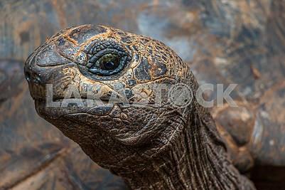 Голова черепахи Альдабра