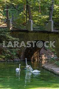 Белые лебеди у Венецианского моста в дендропарке