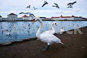 Лебединое озеро с чайками