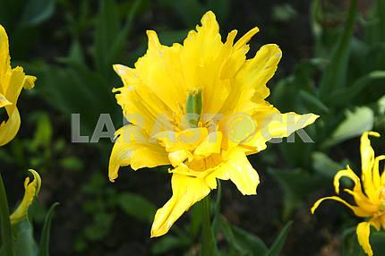 Тюльпан   желтый , на клумбе