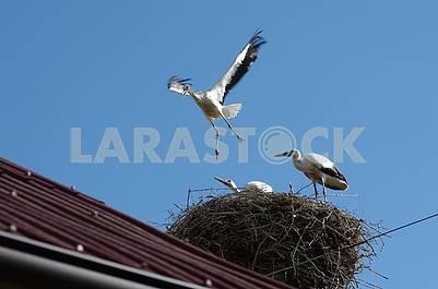 Три птенца аиста в гнезде