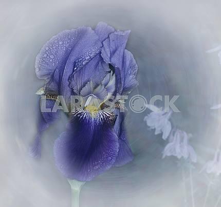 Цветок синего ириса с каплями дождя. Художественная обработка.