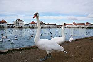 Два лебедя на пруду дворца Нимфенбург