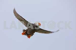 Птица (Топорок) летит с уловом
