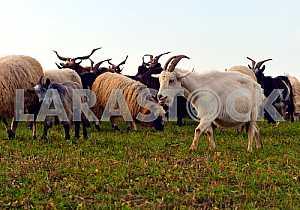 Стадо овец на горном пастбище