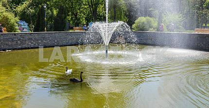 Два лебедя плавают в пруду с фонтаном