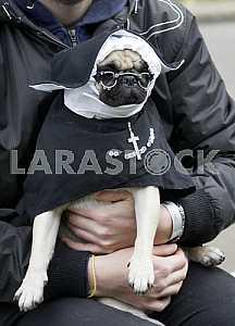Собака одетая в костюм монашки