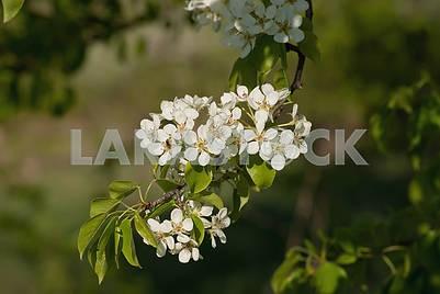 Цветение майской яблони на фоне зеленых деревьев