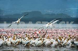 Стая птиц в воде. Озеро Баринго, Кения