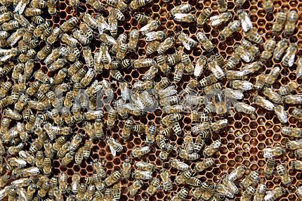 Пчелиный рой и соты