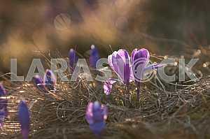 Шафран (Крокус)- род травянистых многолетних растений семейства касатиковых.