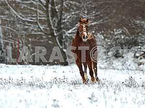 Гнедая лошадь. Зима