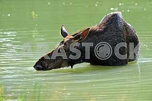 Лось в воде