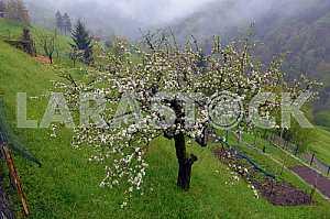 Цветущие яблони на склоне