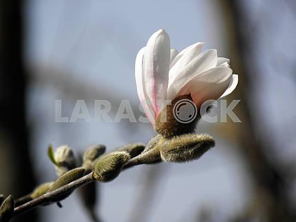 Весеннее пробуждение в сельской местности, магнолия, Хорватия, 1