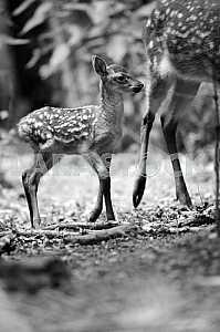 Детеныш лани. Черно-белое изображение